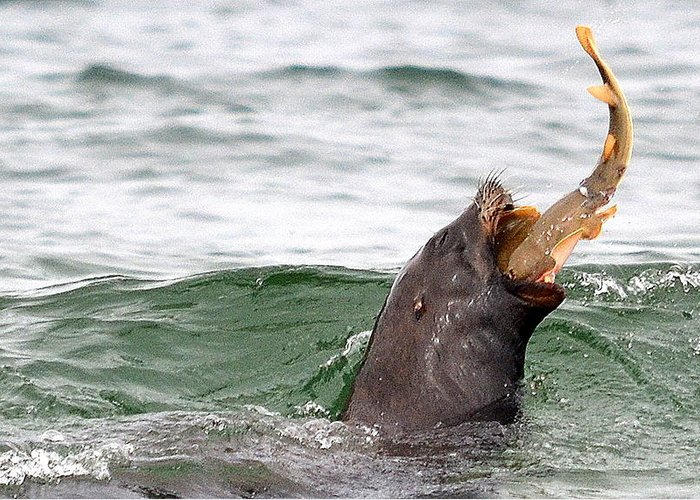 Sea Lion Greeting Card featuring the photograph Working For A Meal by Fraida Gutovich