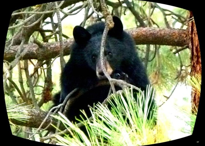 Black Bear Greeting Card featuring the photograph Young Black Bear by Will Borden