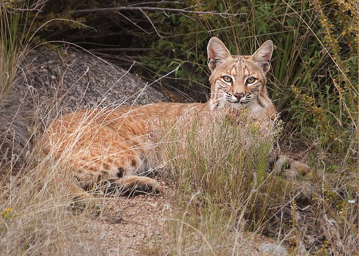 Wild Animal Greeting Card featuring the photograph Bobcat At Rest by Alan Toepfer