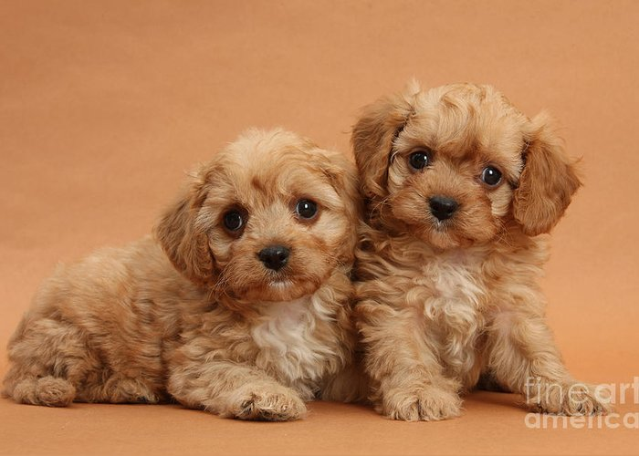 Animal Greeting Card featuring the photograph Cavapoo Pups by Mark Taylor
