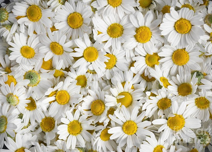 Chamomile Greeting Card featuring the photograph Chamomile Flowers by Elena Elisseeva