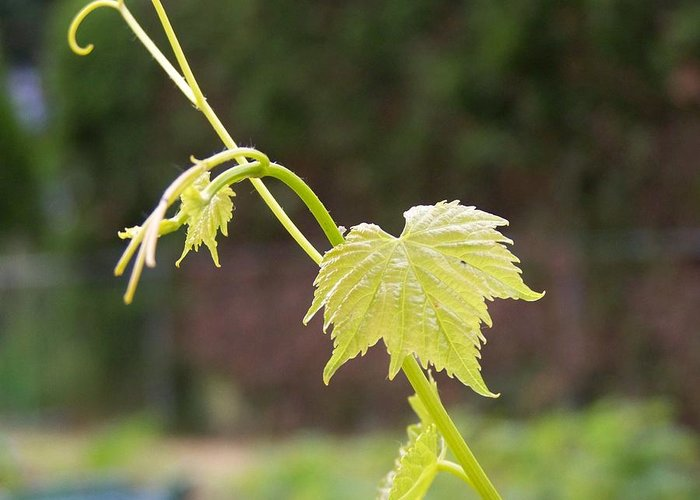Grape Greeting Card featuring the photograph Grapevine by Heather L Wright