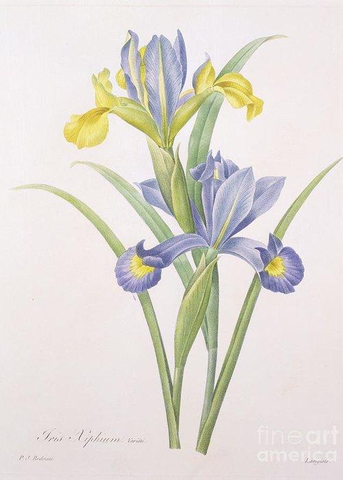 Iris Greeting Card featuring the drawing Iris Xiphium by Pierre Joseph Redoute