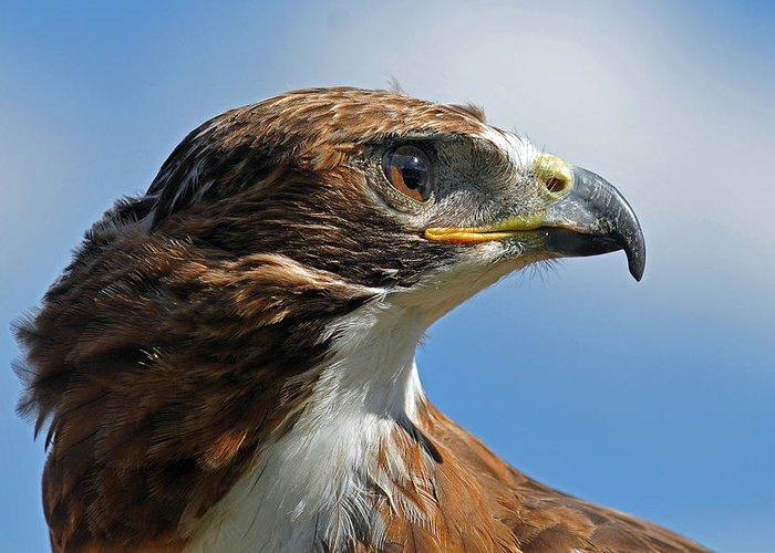 Red-tailed Hawk Greeting Card featuring the photograph Red-tailed Hawk by Alan Lenk