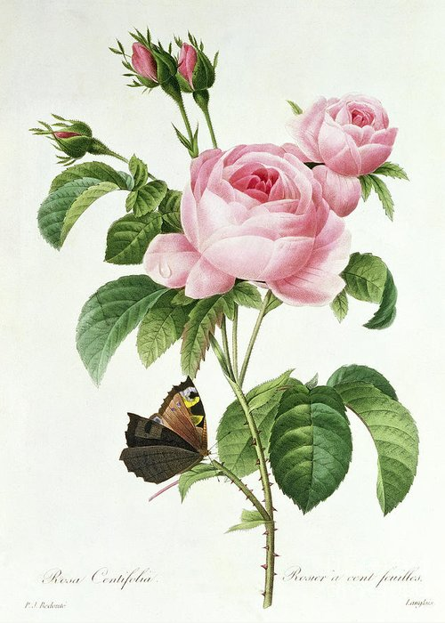 Butterfly Greeting Card featuring the painting Rosa Centifolia by Pierre Joseph Redoute