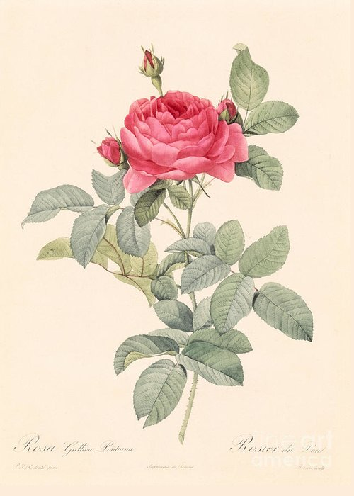 Rosa Greeting Card featuring the drawing Rosa Gallica Pontiana by Pierre Joseph Redoute