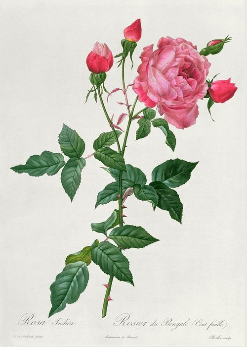 Rosa Greeting Card featuring the drawing Rosa Indica by Pierre Joseph Redoute