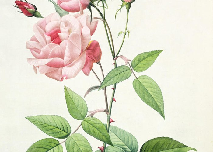 Rosa Greeting Card featuring the drawing Rosa Indica Vulgaris by Pierre Joseph Redoute