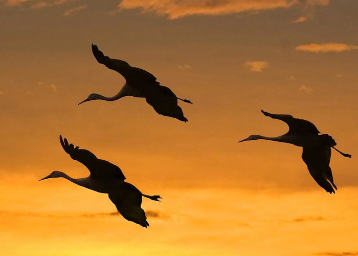 Sandhill Cranes Greeting Card featuring the photograph Sandhill Cranes At Dusk by Larry Linton