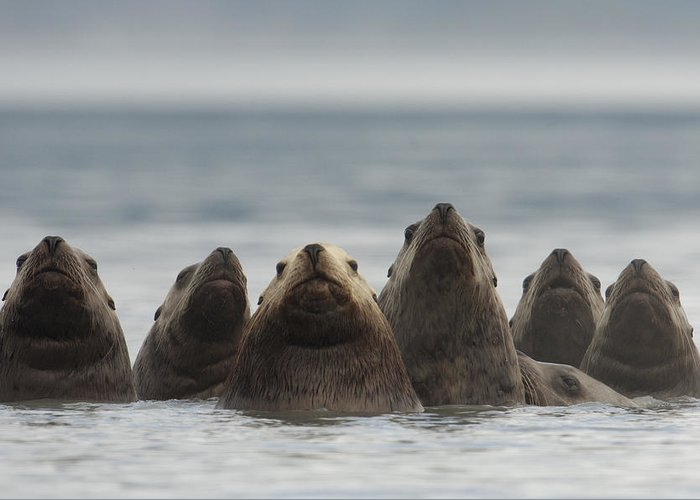Mp Greeting Card featuring the photograph Stellers Sea Lion Eumetopias Jubatus by Michael Quinton