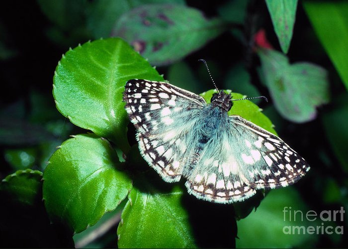 Tropical Checkered Skipper Greeting Card featuring the photograph Tropical Checkered Skipper by Thomas R Fletcher