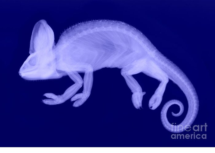 Reptile Greeting Card featuring the photograph Veiled Chameleon X-ray by Ted Kinsman