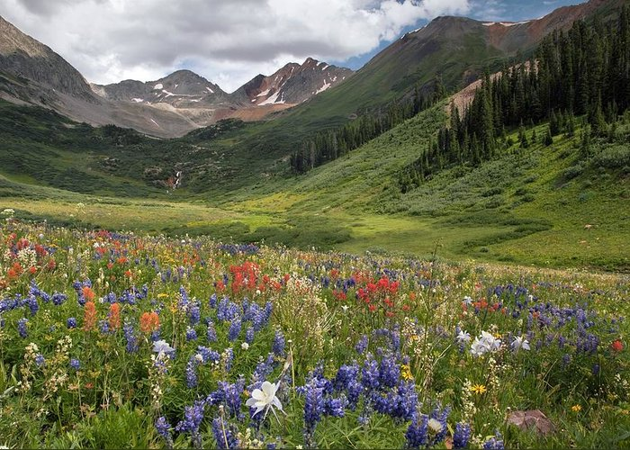 Alpines Greeting Card featuring the photograph Alpine Flowers In Rustler's Gulch, Usa by Bob Gibbons