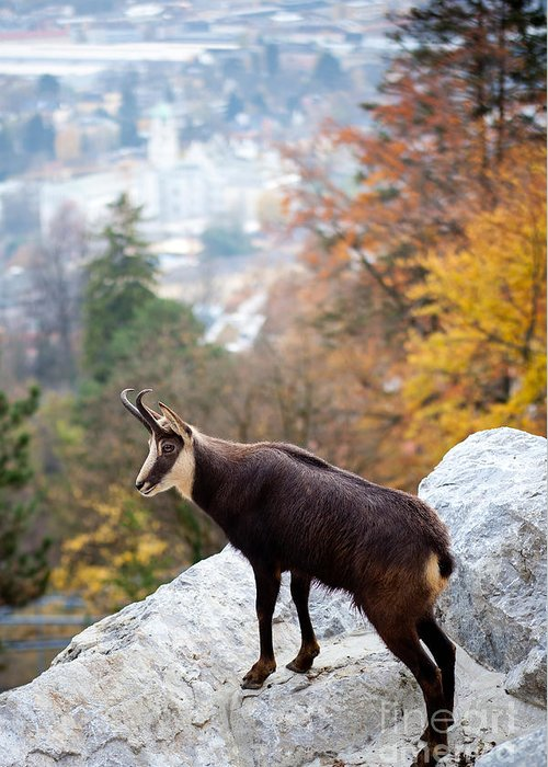 Alone Greeting Card featuring the photograph Goat In The Austrian Alps by Andre Goncalves