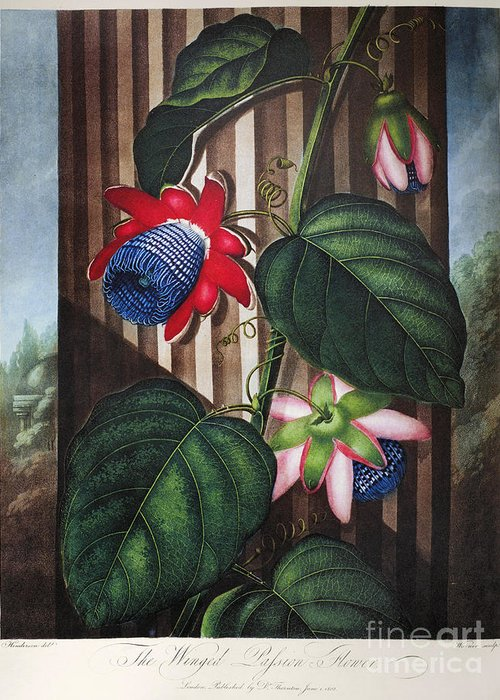 1802 Greeting Card featuring the photograph Thornton: Passion-flower by Granger