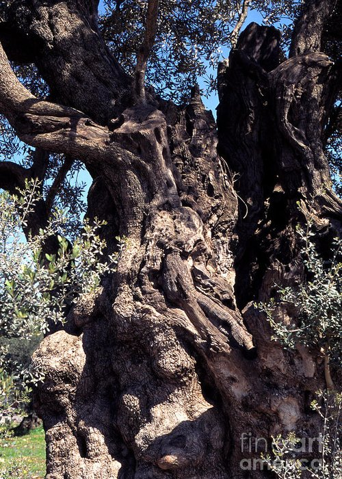 2000 Year Old Olive Tree Greeting Card featuring the photograph 2000 Year Old Olive Tree by Thomas R Fletcher