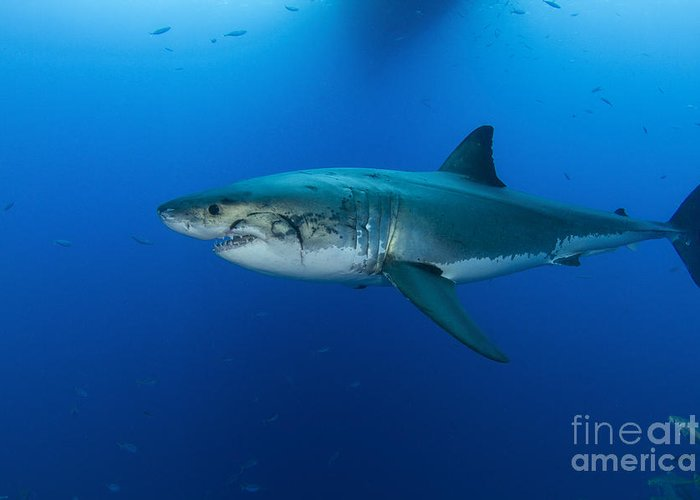 Carcharodon Carcharias Greeting Card featuring the photograph Male Great White Shark, Guadalupe by Todd Winner