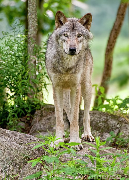 Michael Cummings Greeting Card featuring the photograph Timber Wolf by Michael Cummings