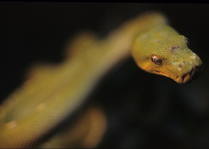 District Of Columbia Greeting Card featuring the photograph A Curious Immature Green Tree Python by Taylor S. Kennedy