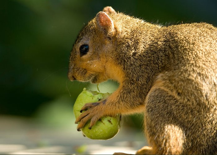 Photography Greeting Card featuring the photograph A Red Fox Squirrel Chews On A Walnut by Joel Sartore