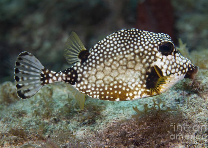 Sea Life Greeting Card featuring the photograph A Spotted Trunkfish, Key Largo, Florida by Terry Moore