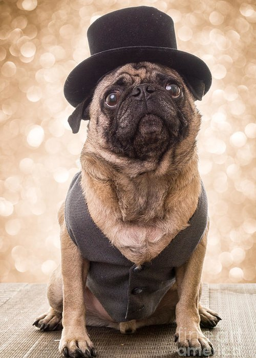 Pug Greeting Card featuring the photograph A Star Is Born - Dog Groom by Edward Fielding