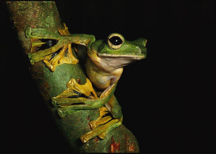 Borneo Island (indonesia);tree Branches;animal Portraits;close Views;rhacophorus Nigropalmatus;wallace's Flying Frogs;feet Greeting Card featuring the photograph A Wallaces Flying Frog by Tim Laman
