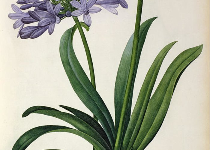 Agapanthus Greeting Card featuring the painting Agapanthus Umbrellatus by Pierre Redoute
