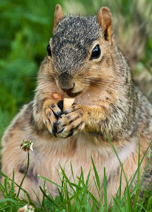 Fox Squirrel Greeting Card featuring the photograph Ample Waist by James Marvin Phelps
