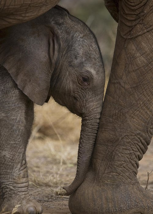 Outdoors Greeting Card featuring the photograph An Elephant Calf Finds Shelter Amid by Michael Nichols