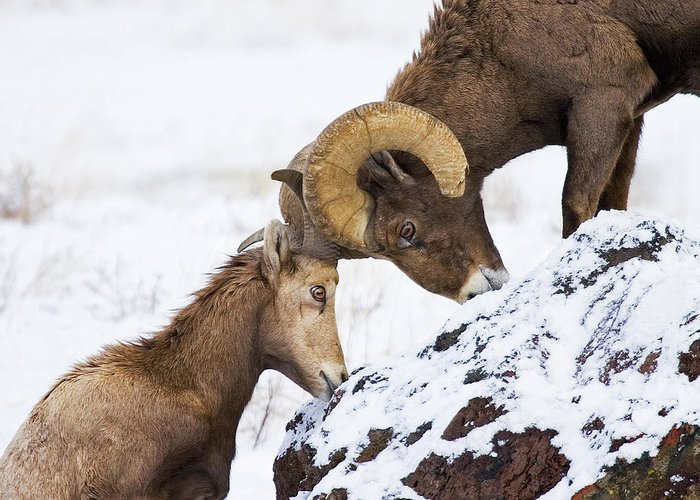 Bighorn Greeting Card featuring the photograph An Uphill Battle by Mike Dawson