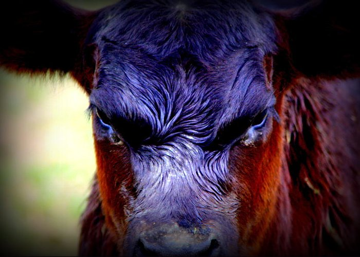 Cattle Photographs Greeting Card featuring the photograph Angry Black Angus Calf by Tam Graff