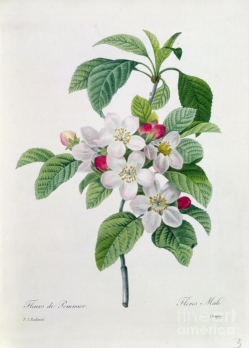 Apple Greeting Card featuring the painting Apple Blossom by Pierre Joseph Redoute
