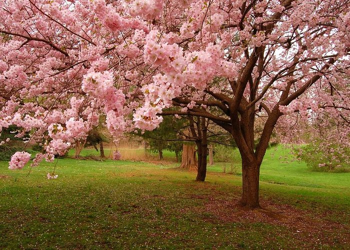 Cherry Blossom Greeting Card featuring the photograph Approach Me - Holmdel Park by Angie Tirado