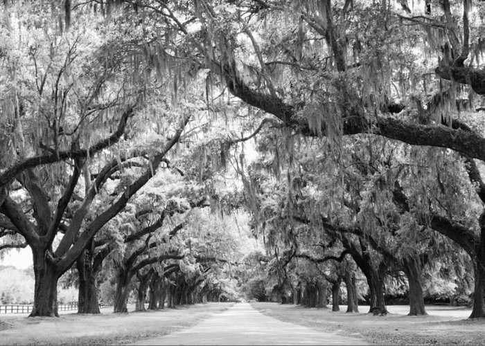 Avenue Of Oaks Greeting Card featuring the photograph Avenue Of Oaks Charleston South Carolina by Stephanie McDowell
