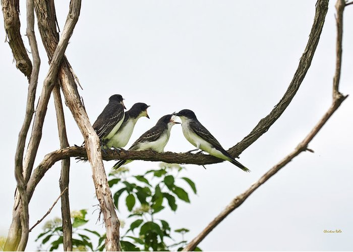 Bird Greeting Card featuring the photograph Baby Birds - Eastern Kingbird Family by Christina Rollo