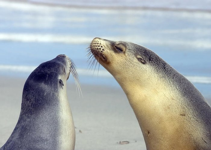 Sea Lion Greeting Card featuring the photograph Backtalk by Mike Dawson