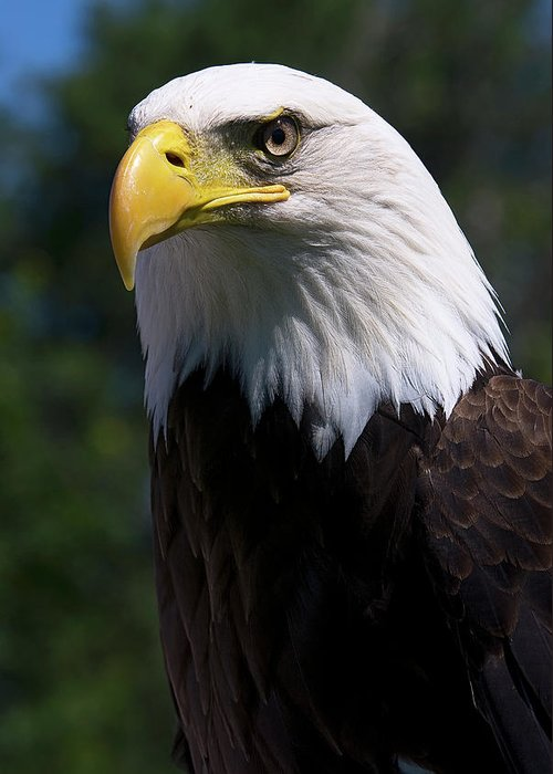 Skyhunter Greeting Card featuring the photograph Bald Eagle by JT Lewis