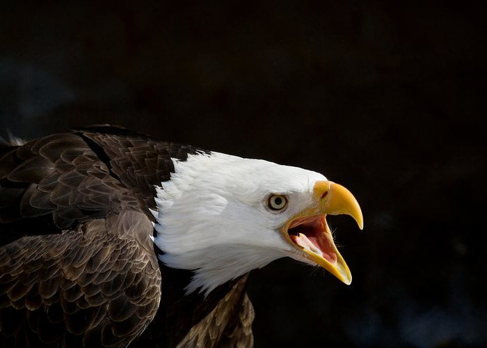 Eagle Greeting Card featuring the photograph Bald Eagle Portrait 2 by Laurie With