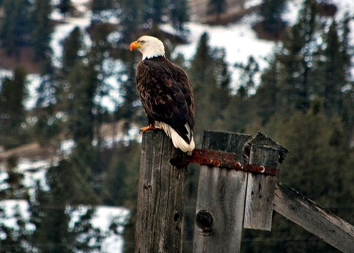 Eagles Greeting Card featuring the photograph Baldy On A Post by Don Mann