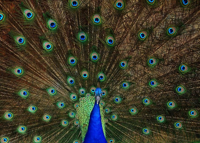 Bird Greeting Card featuring the photograph Beautiful Peacock by Larry Marshall