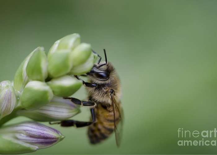 Bee Greeting Card featuring the photograph Busy Bee by Andrea Silies