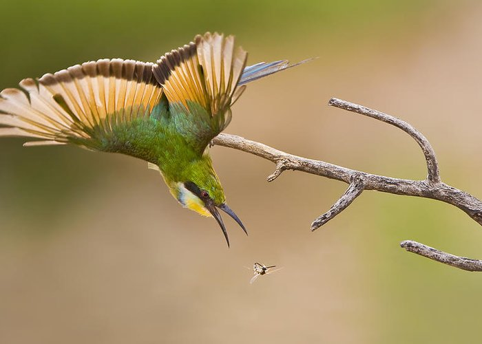 Bird Greeting Card featuring the photograph Bee-eater by Basie Van Zyl