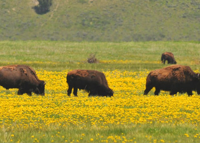 Bison Heard Greeting Card featuring the photograph Bison Herd by Alan Lenk