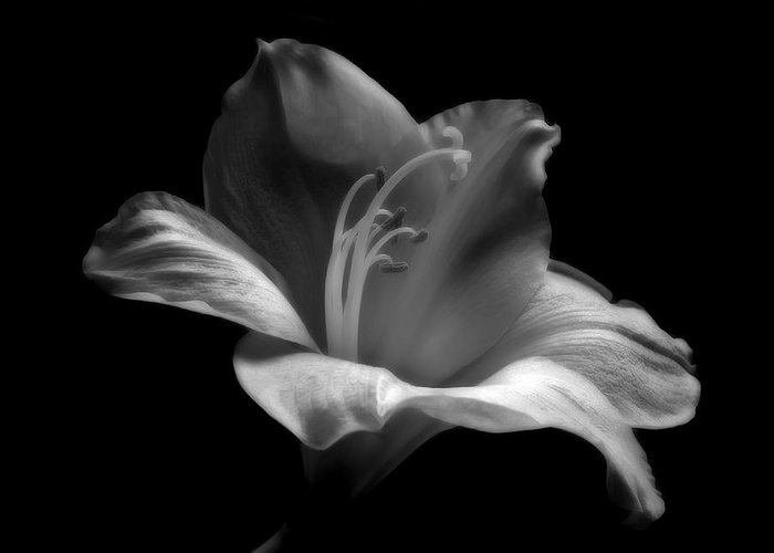 All Greeting Card featuring the photograph Black And White Lily by Artecco Fine Art Photography