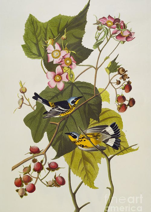 Black And Yellow Warbler. Magnolia Warbler (dendroica Magnolia) Plate Cxxiii From 'the Birds Of America' (aquatint & Engraving With Hand-colouring) By John James Audubon (1785-1851) Greeting Card featuring the drawing Black And Yellow Warbler by John James Audubon