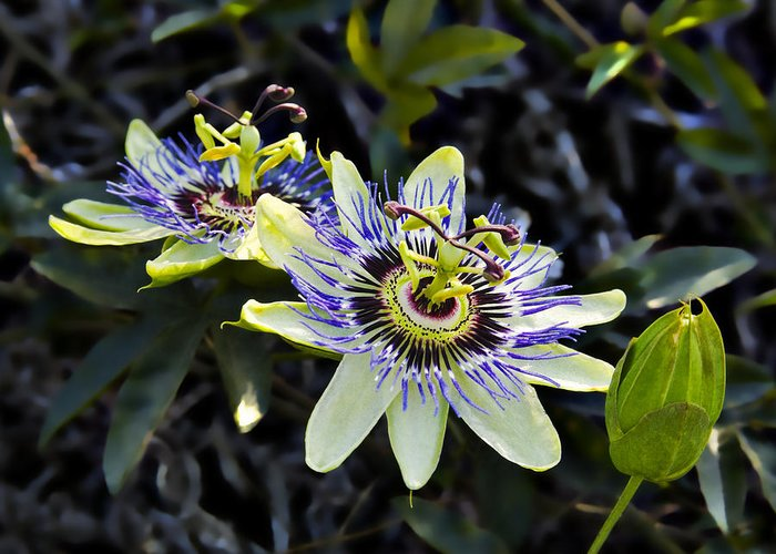Flowers Greeting Card featuring the photograph Blue Passion Flower by Kelley King