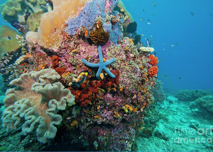 Indonesia Greeting Card featuring the photograph Blue Starfish On Coral Reef, Raja by Beverly Factor