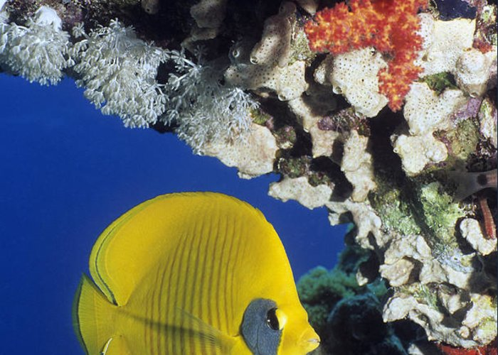 Chaetodon Semilarvatus Greeting Card featuring the photograph Bluecheek Butterflyfish by Georgette Douwma