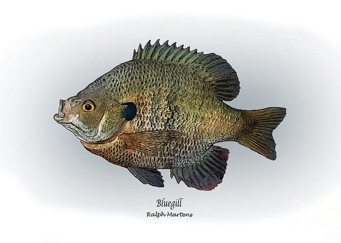 Bluegill Greeting Card featuring the painting Bluegill by Ralph Martens